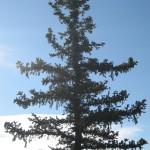 bristlecone-pine